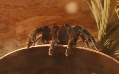 Riesenspinnen in Krems – und nächste Woche in Eisenstadt!