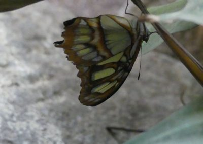 schmetterling12